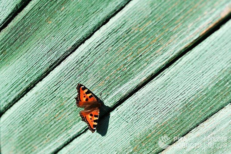Бабочка в городе Тара Омской области.