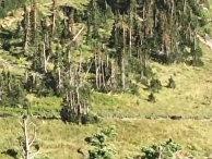 Туристы бегут от медведя в Национальном парке Глейшер