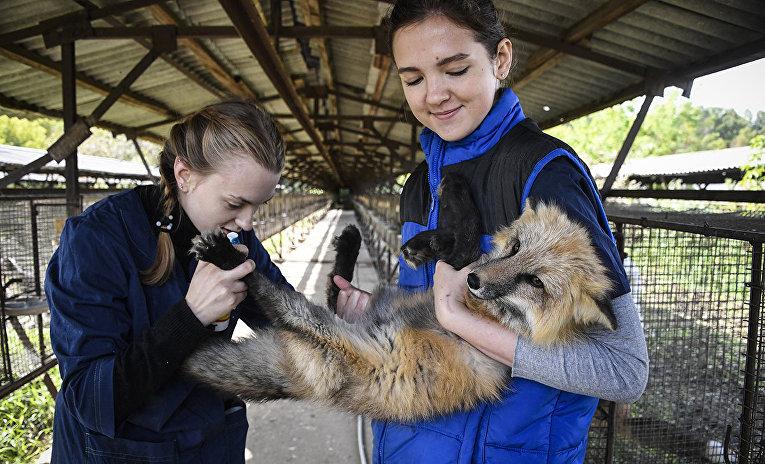 Беляевские лисы