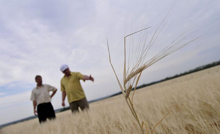 Пшеничные поля Оренбургской области