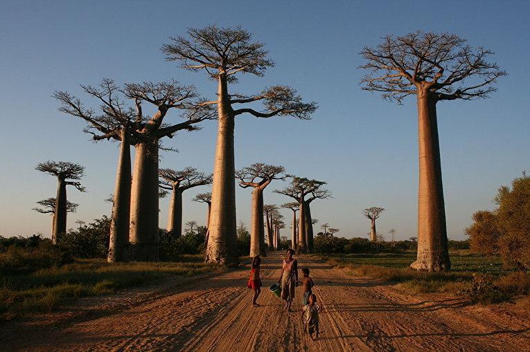 Аллея баобабов, Мадагаскар