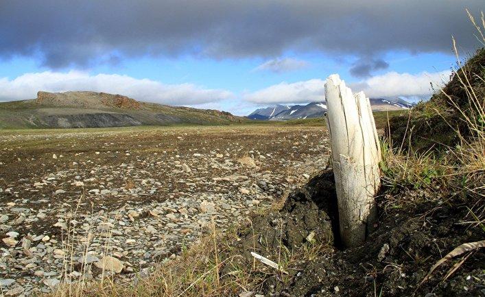 Бивень мамонта на острове Врангеля в Сибири