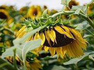 Цветение подсолнечника на полях