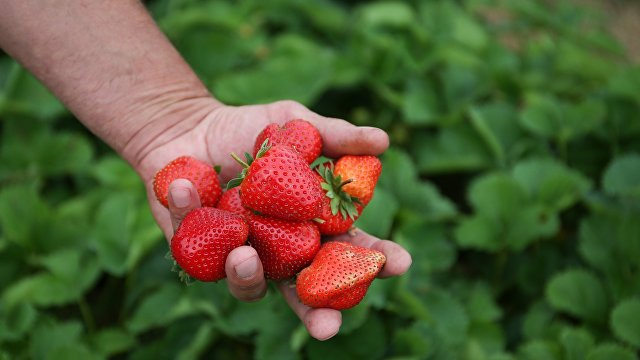 Страна (Украина): Фермеры одалживают заробитчан друг у друга. Сколько можно заработать в этом сезоне в Польше на клубнике