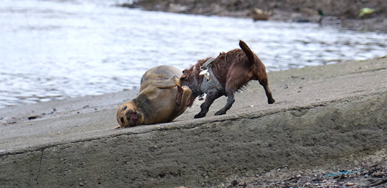 Нападение собаки на тюленя по прозвищу Фредди