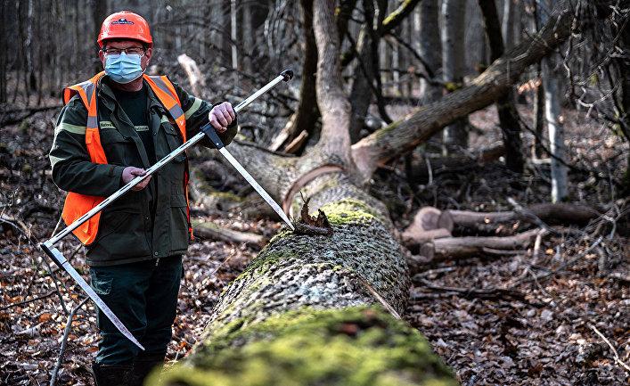 Лесоруб работает над вырубкой дубов, отобранных для использования при реконструкции Нотр-Дама в лесу Вильфермуа