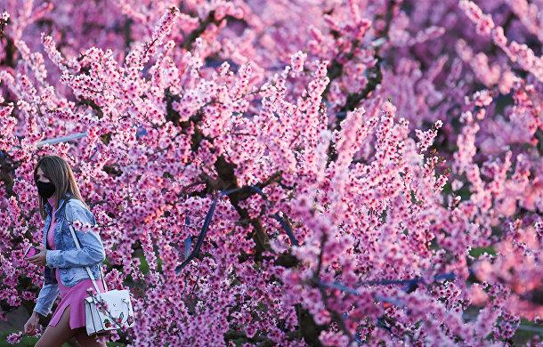 Цветущие персиковые деревья в Айтоне, Испания