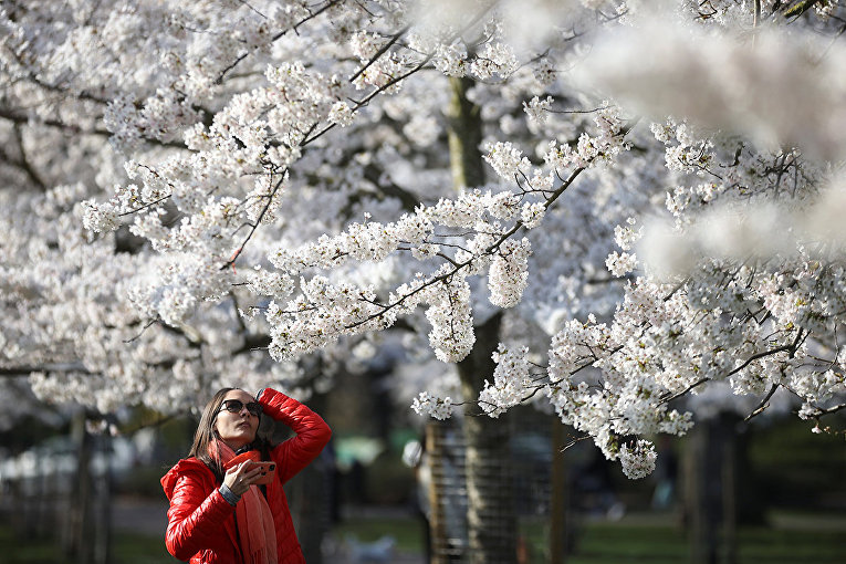 Вишневые деревья в парке Баттерси в Лондоне