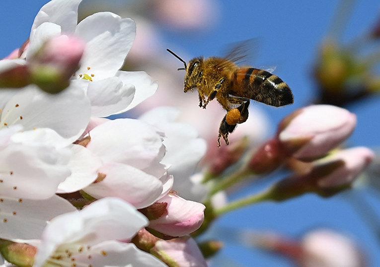 Пчела собирает пыльцу в Королевском ботаническом саду в Лондоне