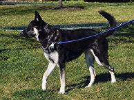 Одна из собак Джо Байдана Майор на Южной лужайке Белого дома в Вашингтоне