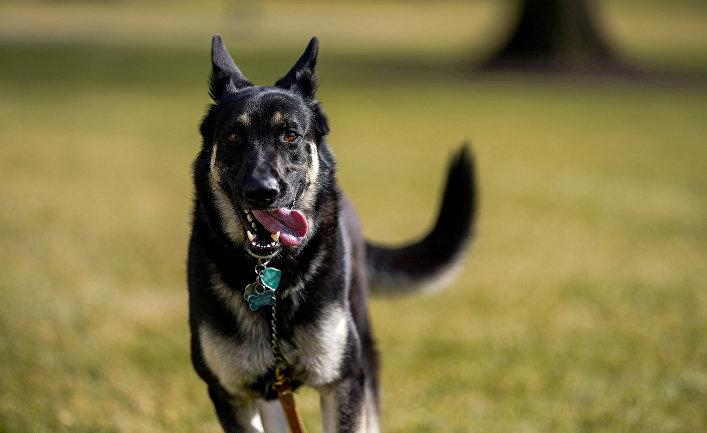 Собака президента США Джо Байдена по кличке Майор