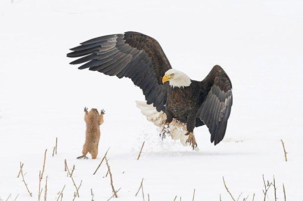 Белоголовый орлан очень удивлен