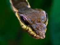 Личинка ястребиной моли увеличивает голову, имитируя змею