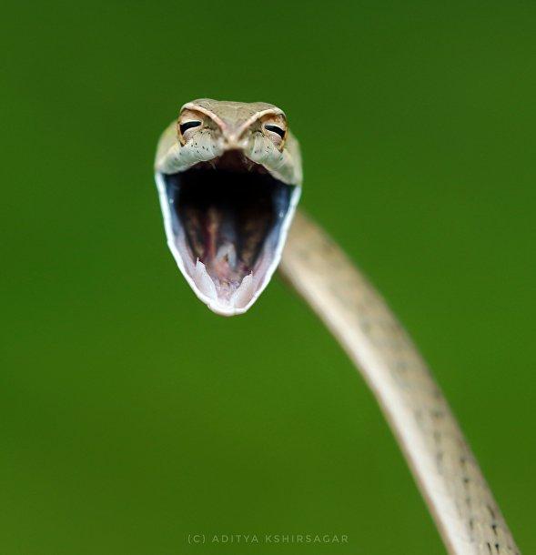 «Смеющаяся змея»